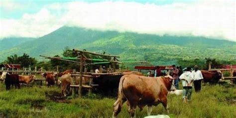 Agribisnis Ternak Sapi sukses bisnis ternak sapi tips info agribisnis co id
