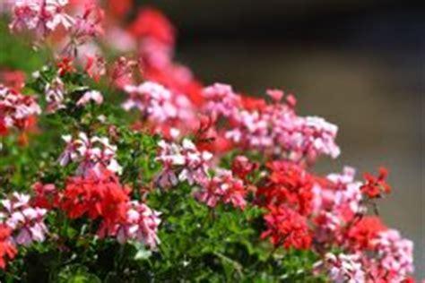Geranien Giftig by Geranie Pelargonie 187 Pflanzen Pflegen Vermehren Und Mehr