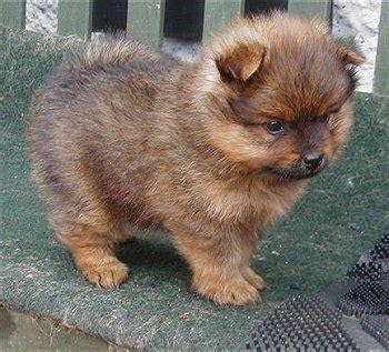 pekingese pomeranian puppies peek a pom pekingese x pomeranian mix info temperament puppies pictures