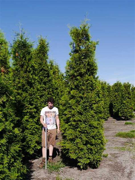 thuja brabant schneiden thuja pflege lebensbaum thuja occidentalis balkonpflanzen