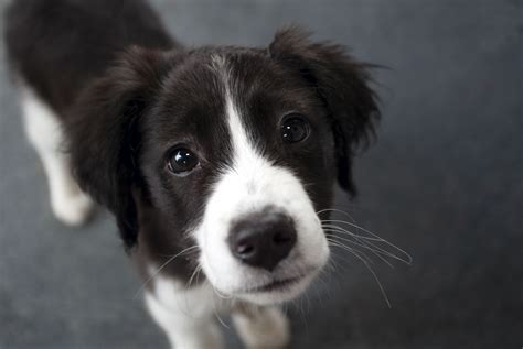border collie puppy pictures border collie closeup wallpapers and images wallpapers pictures photos