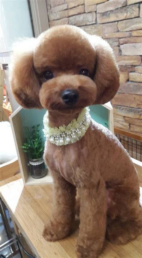 Poodle Hairstyles by 25 Best Ideas About Poodle Grooming On Poodle