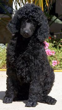 black standard poodle puppies for sale black standard poodle puppies for sale uk photo