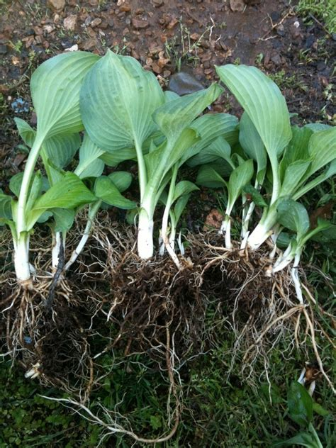 how to thin divide and propagate overgrown hosta plants rhonda s going to hack your life so