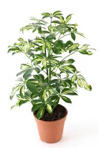 house plants 18 best large indoor plants tall houseplants for home and offices balcony garden web
