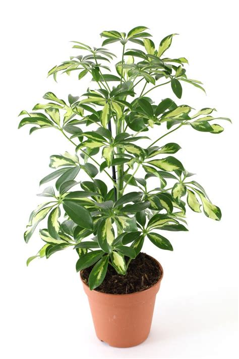 Houseplants by 18 Best Large Indoor Plants Tall Houseplants For Home