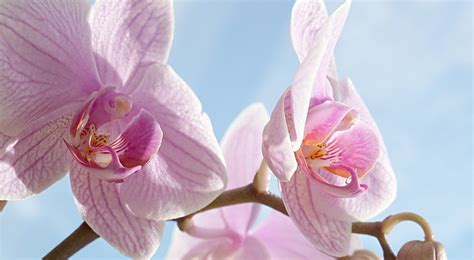 come mantenere le orchidee in vaso come coltivare le orchidee in casa phalaenopsis orchidee