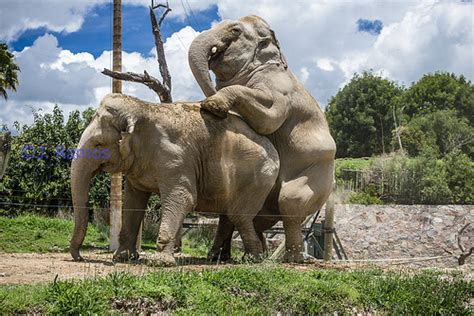Elephant Matting by Paquidermo Elephants Mating Flickr Photo