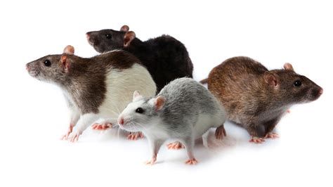 Small Animals Free To Home What Are Pet Rat Meetup Groups Pet Rats
