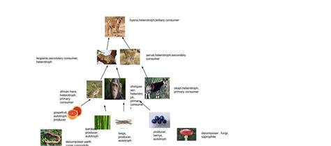 chimpanzee food chain diagram chimpanzee food chain diagram best chain 2018