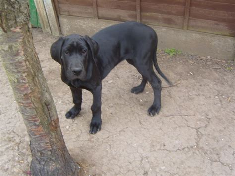 great dogs for great dane great dane puppy for sale in the uk breeds picture