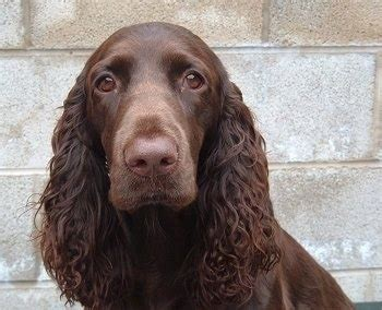 Field Spaniel Dog Breed Information and Pictures