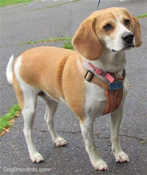 is lemon bad for dogs beagle breed information and pictures