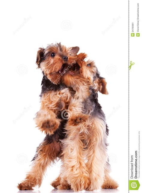 yorkie puppy biting all the time two terrier puppy dogs stock image image 24765901