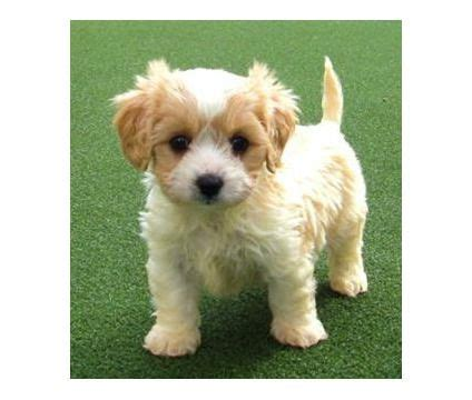 cavachon puppies ohio cavachon puppy oh how i want one cavachon fur babies pintere