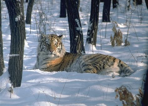 with pictures in ovaltes amur tiger or siberian tiger panthera tigris altaica
