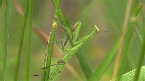 praying mantis colors praying mantis lone summer camouflage green color pan