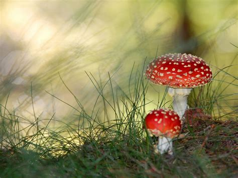 are backyard mushrooms poisonous mushroom amanita muscaria poisonous mushrooms pinterest
