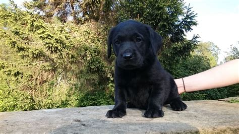 labrador dogs for sale labrador puppies for sale york pets4homes