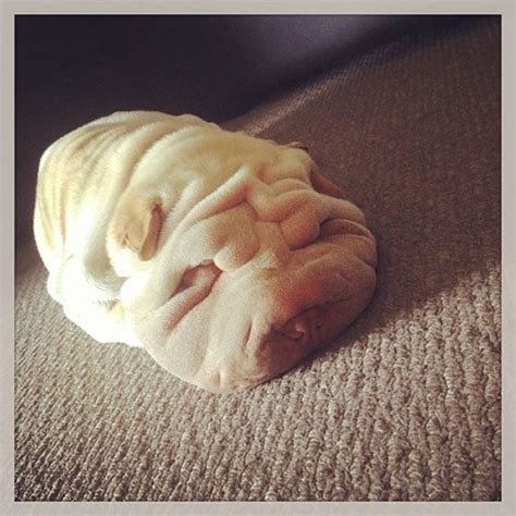 pictures of shar pei puppies shirk your work these pictures of shar pei puppies