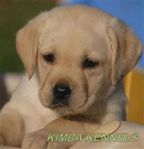 buy pug puppies in bangalore st bernard available in mahalakshmi layout karnataka dogs for sale puppies for