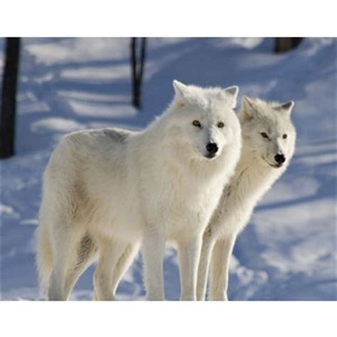arctic wolf puppies arctic wolf plus pets dogs cats puppies and much more polyvore