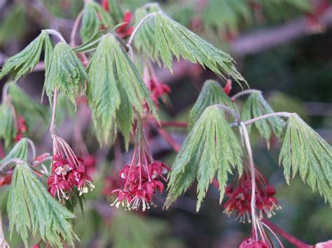 a flowering tree ramblin through dave s garden