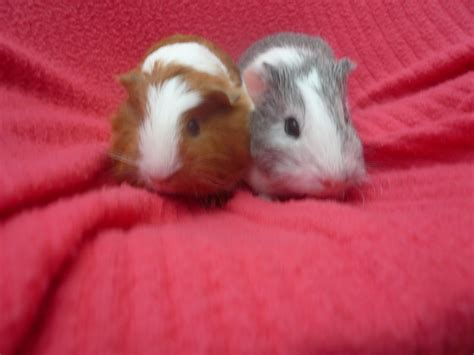 cute baby guinea pigs Quotes