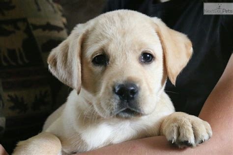 lab puppies sacramento labrador retriever puppy yellow labrador retriever puppy for sale in