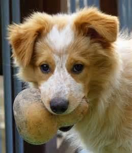 Aussie border collie mix australian cattle dogs dogs d border