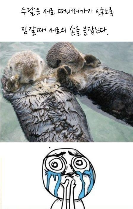 Otter Love Meme - 해달의 우정 그리고 의외의 결말 동영상으로 다시보기 manwon blog