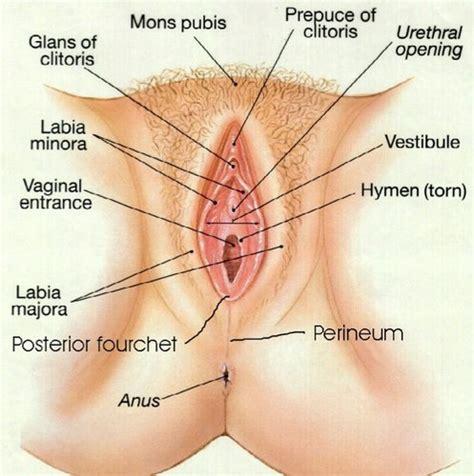 diagram of a vagiana science vaginascience