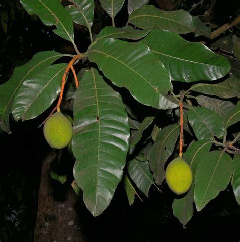Mango Kuini mangifera odorata wikimedia commons