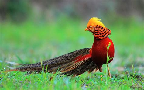 Golden Bird the most beautiful birds in the world