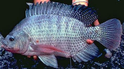 Bibit Ikan Mujair Nila budidaya ikan gurame bibitikan net