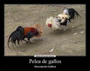 gallos con frases pelea de gallos desmotivaciones