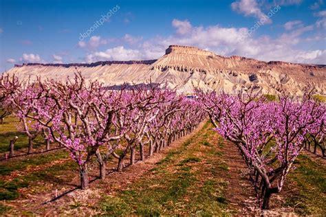 alberi di pesco in fiore fiore di pesco frutteti in palisades co foto stock