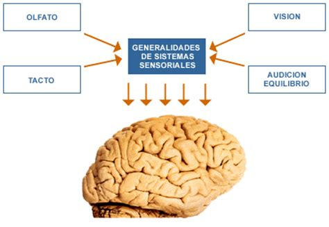 imagenes sensoriales olfativas definicion los sistemas sensoriales