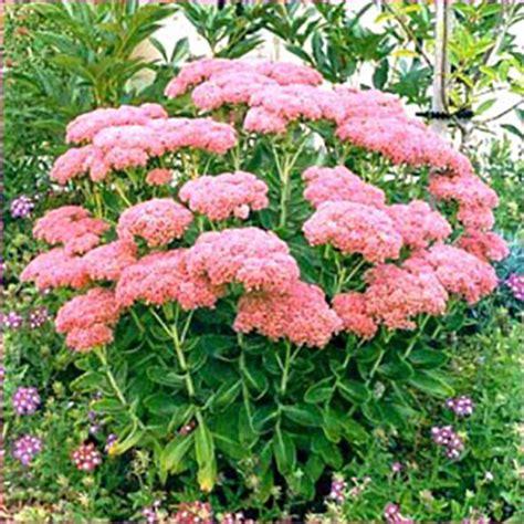 sedum spectabile autumn joy from santa rosa gardens