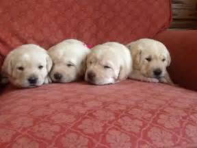 Years ago for sale dogs labrador retriever radstock