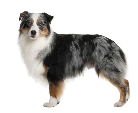 how much are australian shepherd puppies australian shepherd breeds