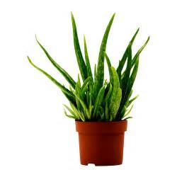 ikea plants aloe vera potted plant ikea