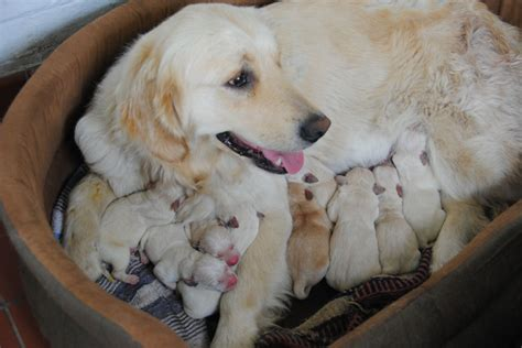 are golden retrievers labs pedigree labrador cross golden retriever puppies godalming surrey pets4homes