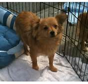 Pomeranian Chihuahua Mix  Best Images Collections HD For