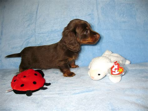 dachshund puppies for sale in va miniature dachshund puppies virginia dogs our friends photo