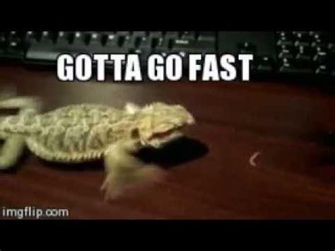 how often do bearded dragons go to the bathroom lizard run gotta go fast youtube