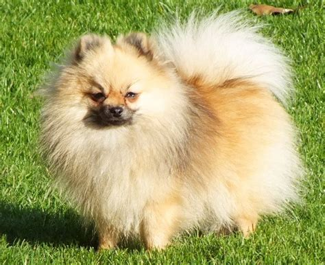 pomeranian cross breeds list pomeranian husky cross breeds picture