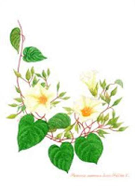 Herbal Kanker Payudara Temu Putih Segar 1 Kg Kunir Putih tanaman obat tradisional khasiat dan manfaat tanaman macam macam obat alami