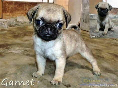 anjing pug dunia anjing jual anjing pug jual anakan pug hitam dan fawn breeds picture