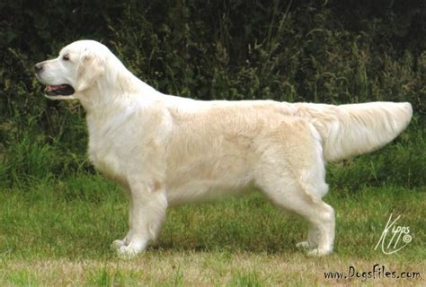 golden retriever database elswood the highlander 187 pedigree database golden retriever